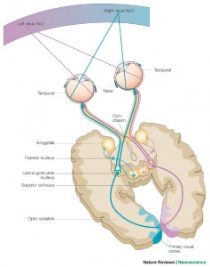 A schematic of the human visual system